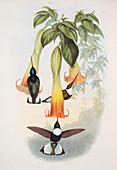 Collared inca hummingbirds,artwork