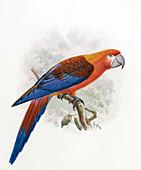 Hispaniolan macaw,20th century