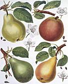 Pears,19th century