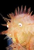 Amphipod crustacean