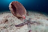 Starfish hunting a scallop