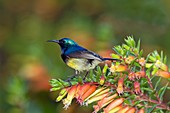 Variable sunbird male