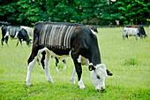 Livestock research,conceptual image