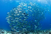 Diver and reef fish