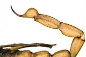 Peruvian golden scorpion sting