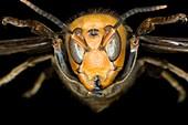 Asian giant hornet head