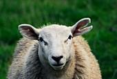 Texel lamb with ear damage