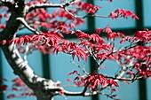 Japanese Maple (Acer palmatum 'Eshojo')