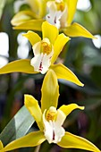 Orchid (Ada aurantiaca)