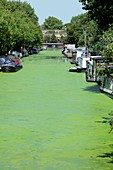 Canal with duckweed bloom