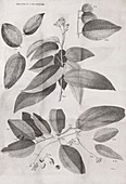 Cinnamon plant,18th century