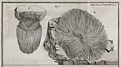 Sea anemone,18th century