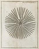Echinoderm,18th century