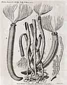 Coral-like polyps,18th century