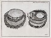 Limpet anatomy,18th century