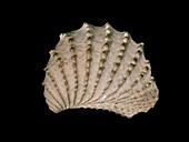 Bivalve mollusc fossil