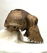 Paranthropus boisei skull (OH5)
