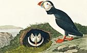 Atlantic puffin,artwork