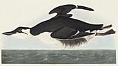 Thick-billed murre,artwork