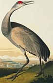 Sandhill crane,artwork