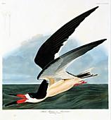 Black skimmer seabird,artwork