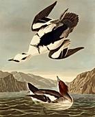 Smew duck,artwork