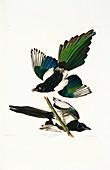 Common magpie,artwork