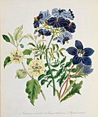 Nightshade family plants,artwork