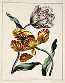 Tulips Tulipa sp,artwork