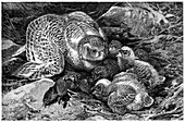 Snowy owl and chicks,19th century