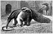 Giant anteater and cub,19th century