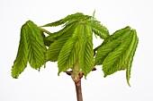 Aesculus hippocastanum leaves