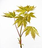 Acer pseudoplatanus leaves