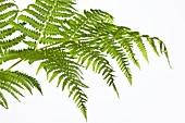 Pteridium aquilinum leaves