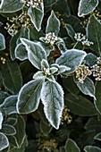 Frost on Viburnum tinus
