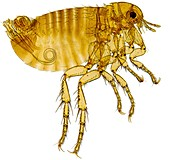 Human flea,light micrograph