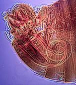 Flea male genitalia,light micrograph