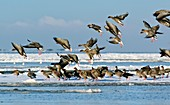 Pink-footed geese on an ice floe