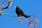 Blackbird male feeding on berries