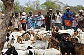 Livestock auction,Zimbabwe