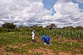 Farmers tending their crops,Zimbabwe