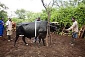 Farmers with their cattle,Zimbabwe