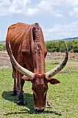 Abyssinian highland zebu grazing