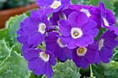 Primrose (Primula 'Mauve Mist')