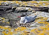Arctic tern on its nest