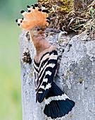 Hoopoe with a lizard in its beak
