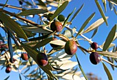 Olives (Olea europaea) on a tree