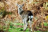 Sika deer calf