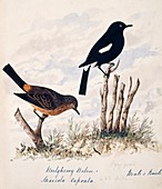 Pied bushchat male and female