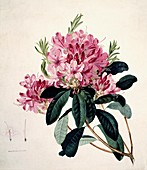 Rhododendron flowers,artwork